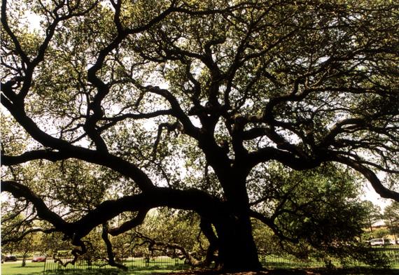 Emancipation-Oak